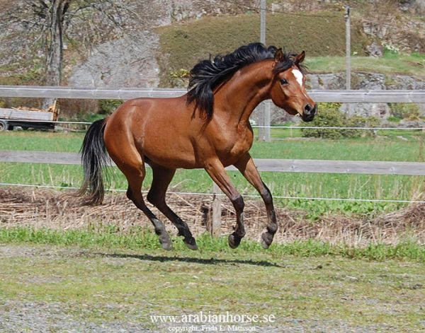 amira-al-halima-ca-straight-egyptian-arabian-horse-mare-bay-ansata-sheikh-halim-queen-sheeba-thee-desperado-ansata-hejazi-breeder